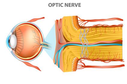 Partes de la Retina: el Nervio Óptico