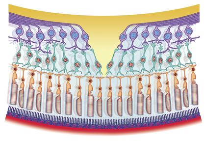La Retina: conos y bastones